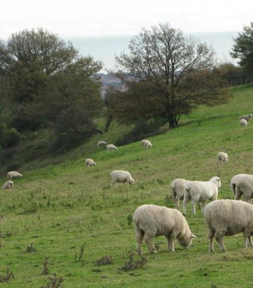 Sheep grazing on a field below Cissbury Ring  to control the grass length to encourage native chalk land flowers and to increase bio-diversity - Nov 2010 (RH)
