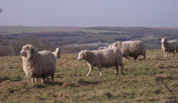 Sheep grazing on Cissbury Ring